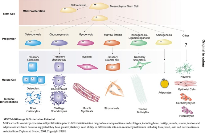 MSC differentiation potential. Credit of the image: Genever Group